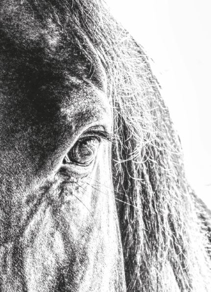 Pferdeauge s/w Foto