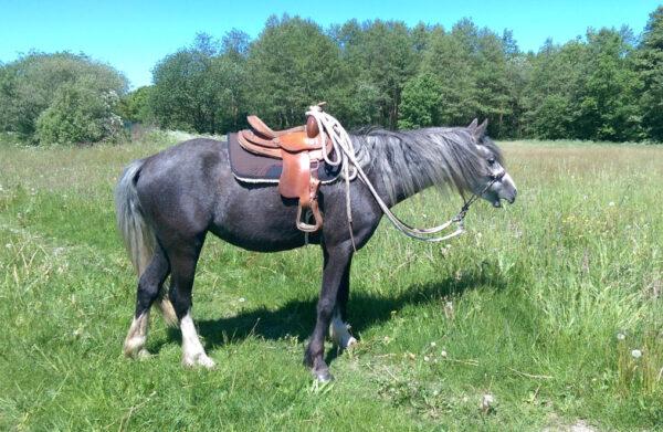 Helga: kleine Pony-Stute mit Westernsattel in der Rittpause