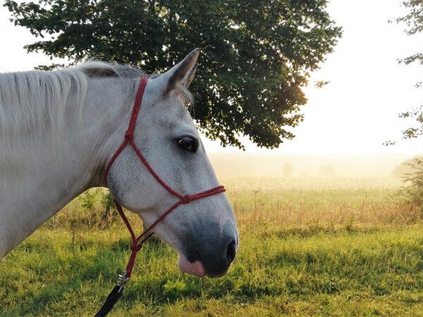 Chilli: Pferde- Portrait im Morgennebel
