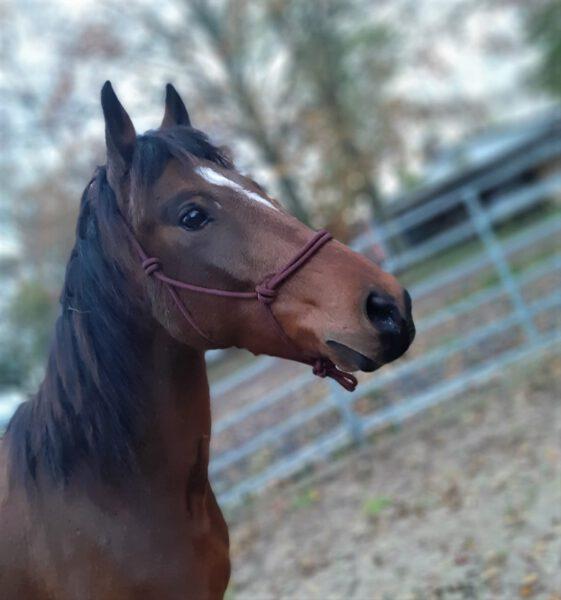Nacho: Pferde-Portrait mit Knotenhalfter